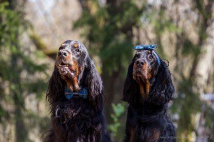 Koerad tartaniga pilt